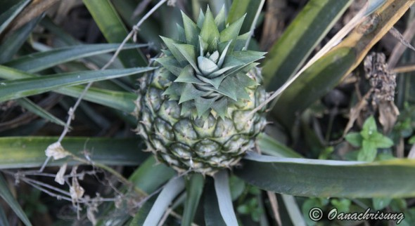 Ananas pe plantatia Dole, polomolok, Filipine featured image