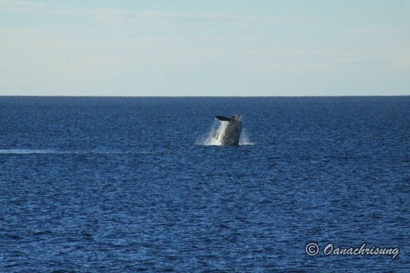 whale watching Puerto Madryn, Argentina (10)