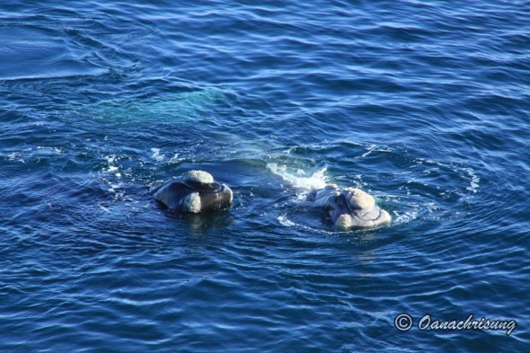 whale watching Puerto Madryn, Argentina (11)