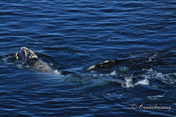 whale watching Puerto Madryn, Argentina (12)