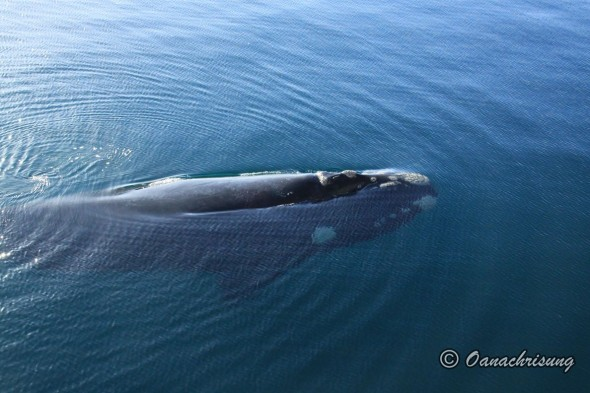 whale watching Puerto Madryn, Argentina (14)