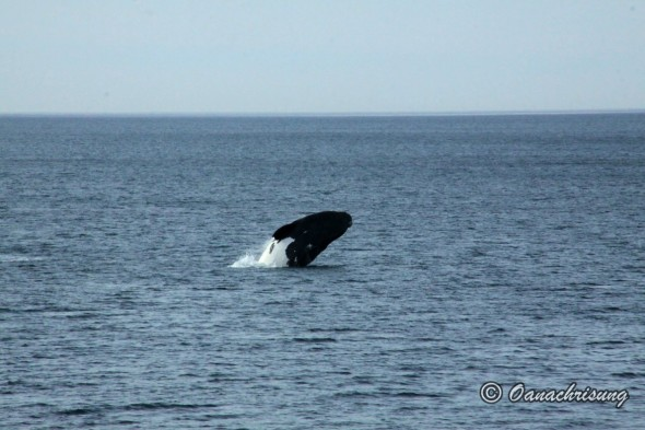 whale watching Puerto Madryn, Argentina (15)