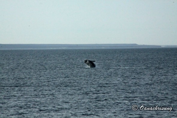 whale watching Puerto Madryn, Argentina (16)