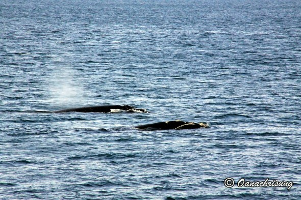 whale watching Puerto Madryn, Argentina (17)