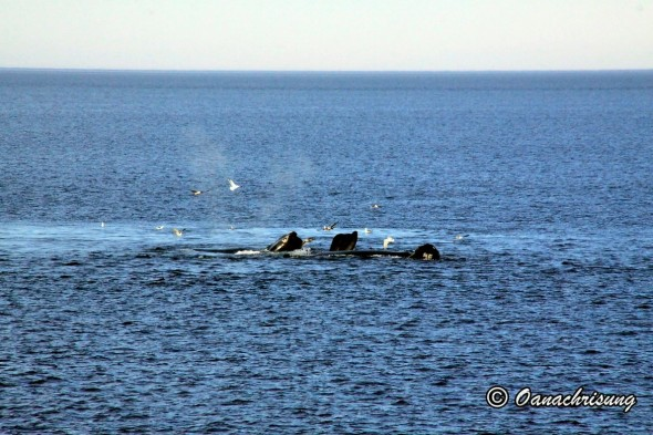 whale watching Puerto Madryn, Argentina (18)