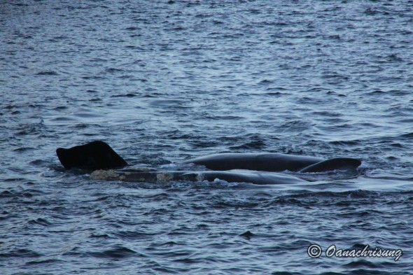 whale watching Puerto Madryn, Argentina (19)