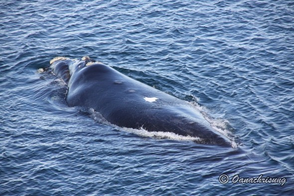 whale watching Puerto Madryn, Argentina (2)