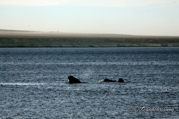 whale watching Puerto Madryn, Argentina (20)