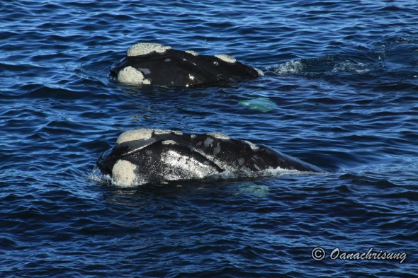 whale watching Puerto Madryn, Argentina (21)