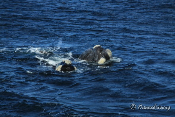 whale watching Puerto Madryn, Argentina (23)