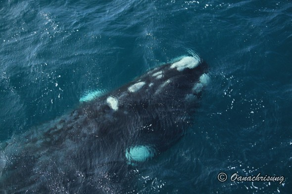 whale watching Puerto Madryn, Argentina (26)