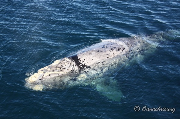 whale watching Puerto Madryn, Argentina (3)