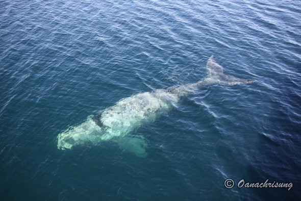 whale watching Puerto Madryn, Argentina (4)