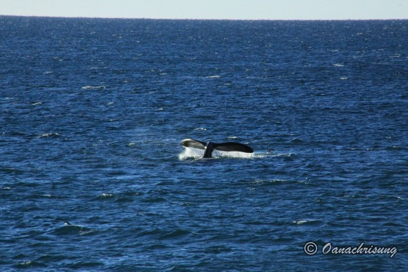 whale watching Puerto Madryn, Argentina (5)