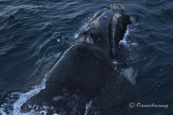 whale watching Puerto Madryn, Argentina (7)