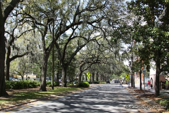 Savannah oak trees and spanish moss