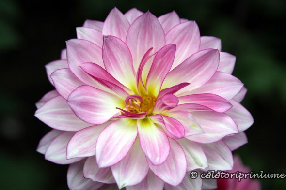 Dahlia the flower of the Chinese New Year (4)