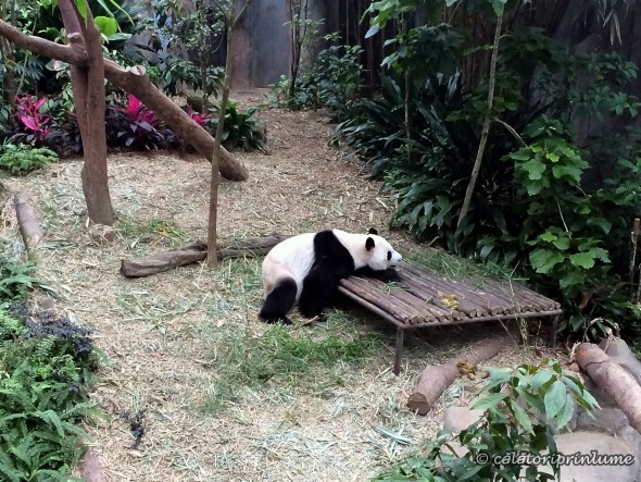 Giant Panda Bear River Safari Singapore (1)