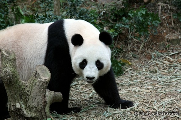 Giant Panda Bear River Safari Singapore (2)