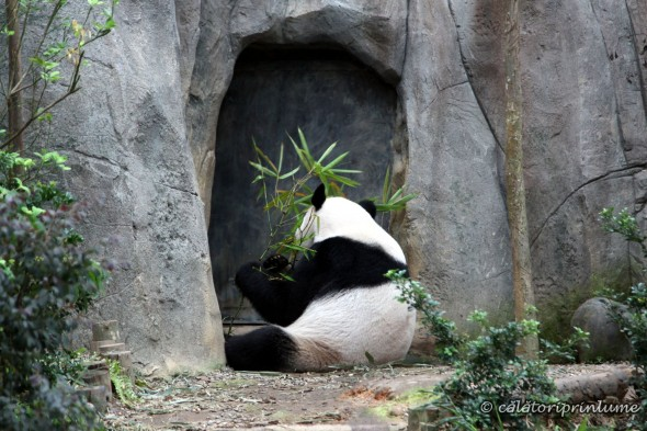 Giant Panda Bear River Safari Singapore (3)
