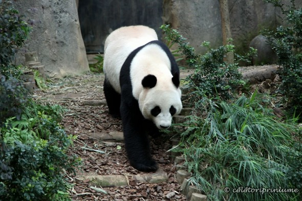 Giant Panda Bear River Safari Singapore (4)