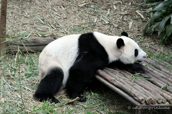 Giant Panda Bear River Safari Singapore (5)
