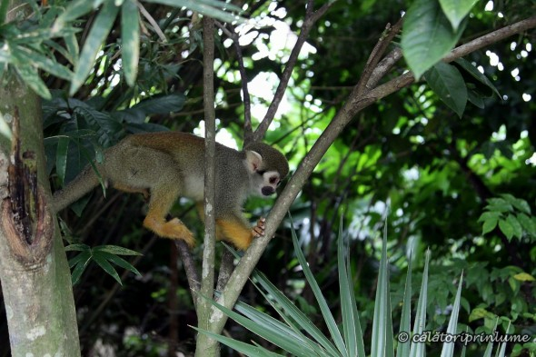 Squirrel Monkey River Safari Singapore